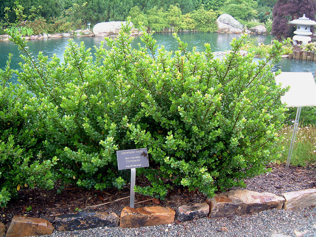 Ilex Crenata Golden Gem point' = 'sky pencil/' ilex crenata 'petite pointe' ha: upright