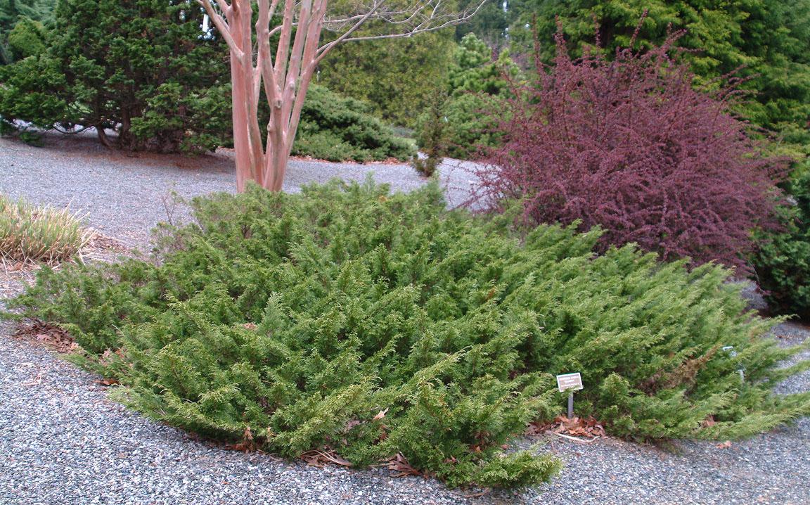 Scandia Juniper (Juniperus sabina 'Skandia') in Minneapolis St ...