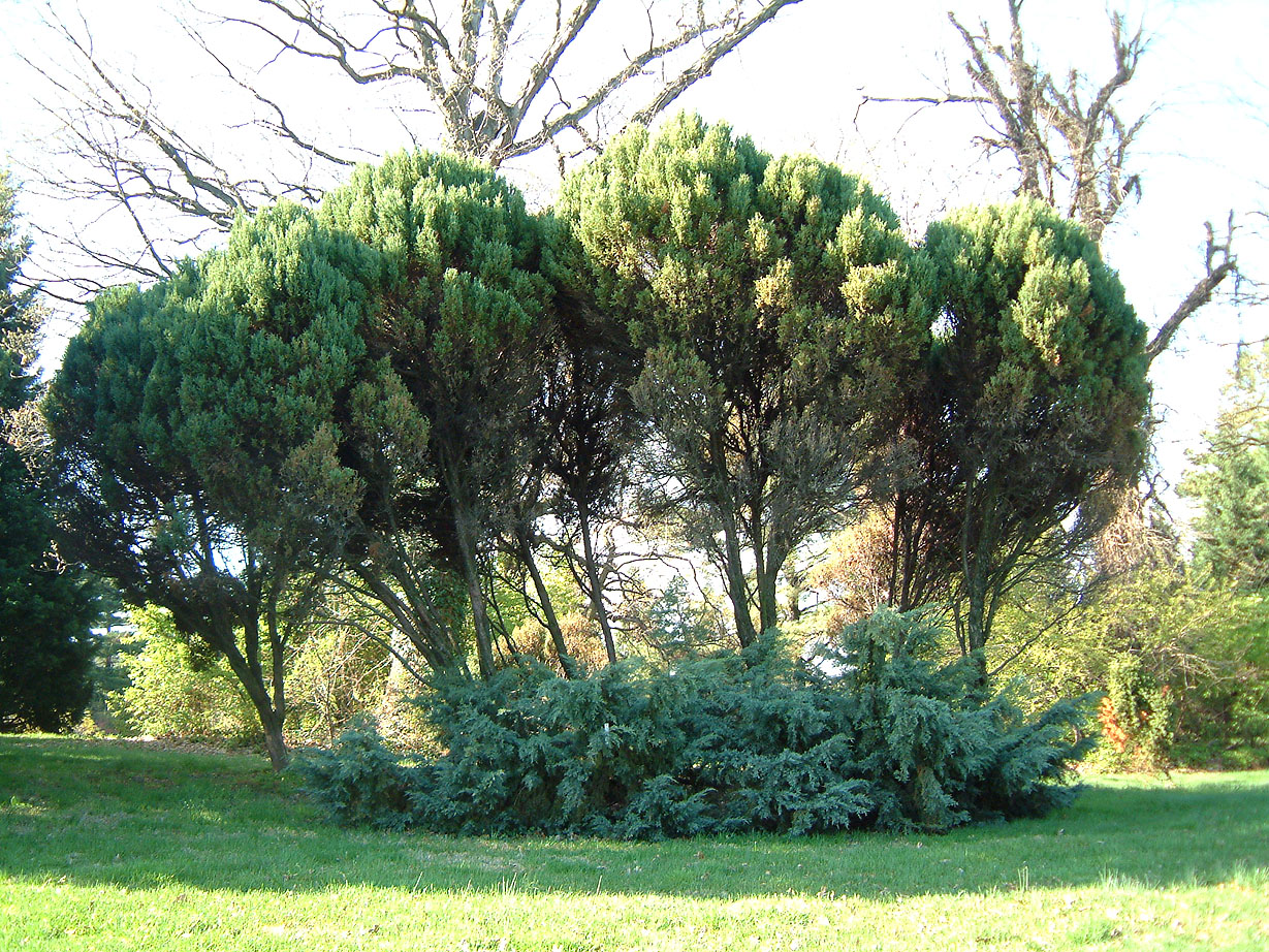 Juni2 under four old plants of j chinensis stricta this cultivatr shows its appealing very rich blue color juniperus reviewsmspy
